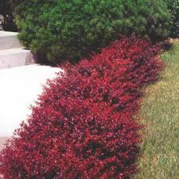 Arbusti ornamentali de vanzare forsythia intermedia for Arbusti ornamentali